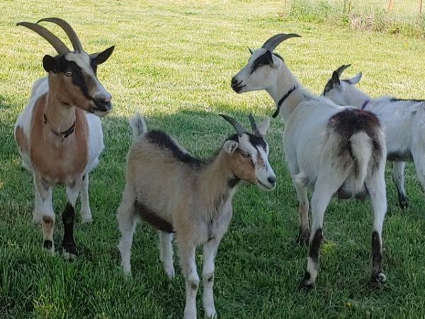 Alpine goats for sale