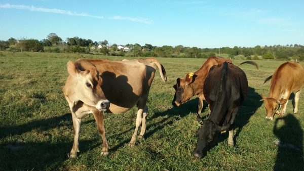 Jersey cattle for sale