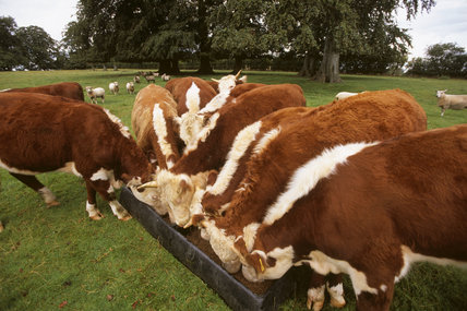 Hereford cattle for sale