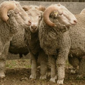 where to buy Merino sheep for sale