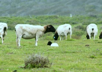 Dorper sheep breed