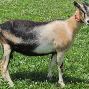 Toggenburg goats for sale