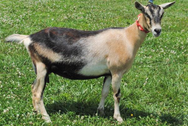 Toggenburg goats for sale