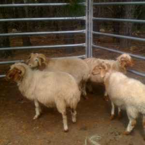 awassi sheep in cage