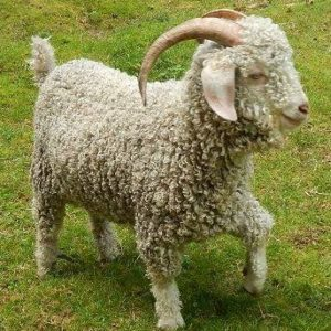 Angora goats for sale