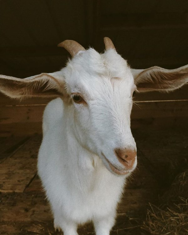 Kiko goats for sale